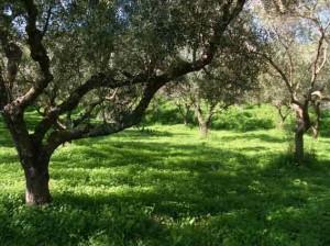 Elia champs-d-oliviers