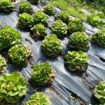 Des salades prêtes à être cueillies