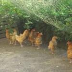 Poulets à l'extérieur