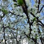 pollinsation_pruniers