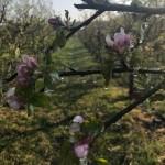 Glace sur les fleurs : protection réussie