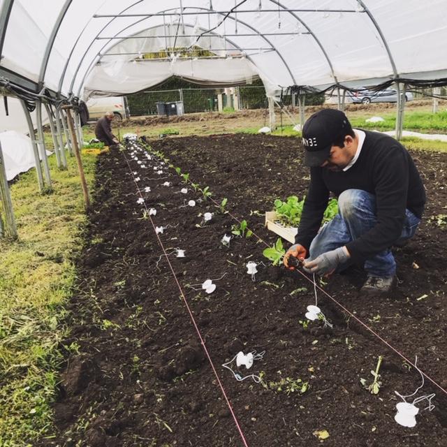 Plantation d'aubergines
