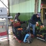 Lavage et mise en bottes des carottes